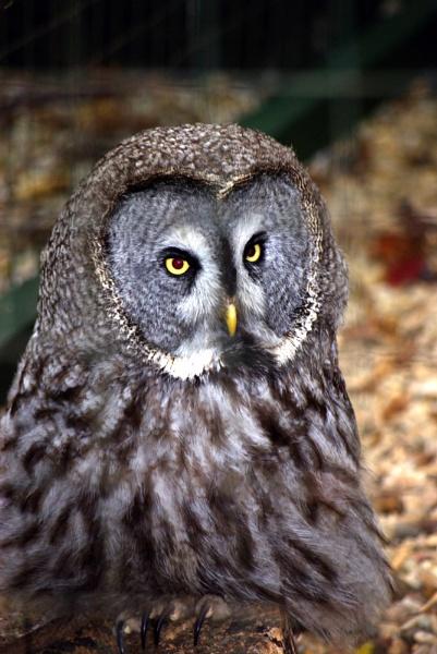 Owl by telstar500