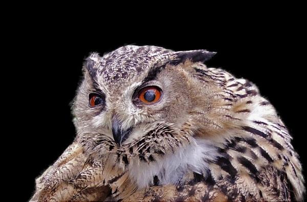 Owl 2 by telstar500