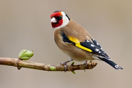 Goldfinch again!