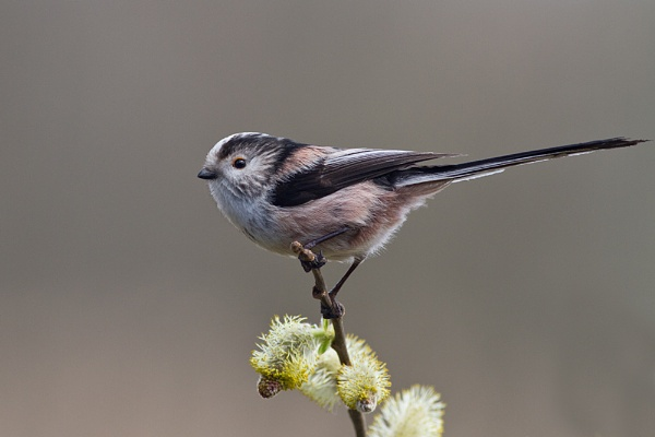 Long Tailed Tit by Brian65
