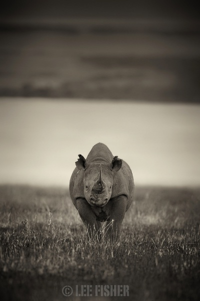 BLACK RHINO by LeeFisher