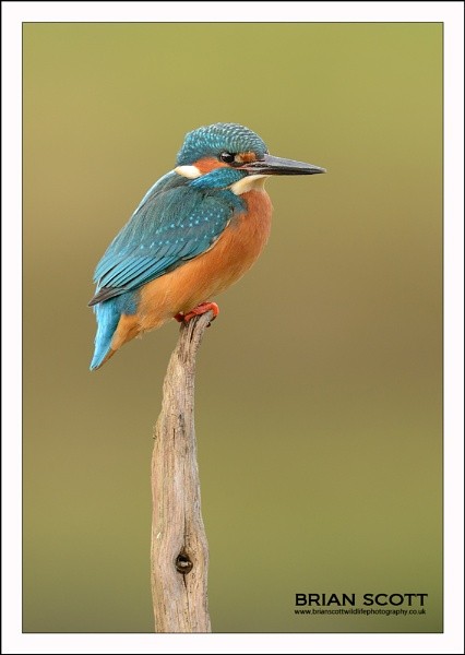 Kingfisher by Brian_Scott