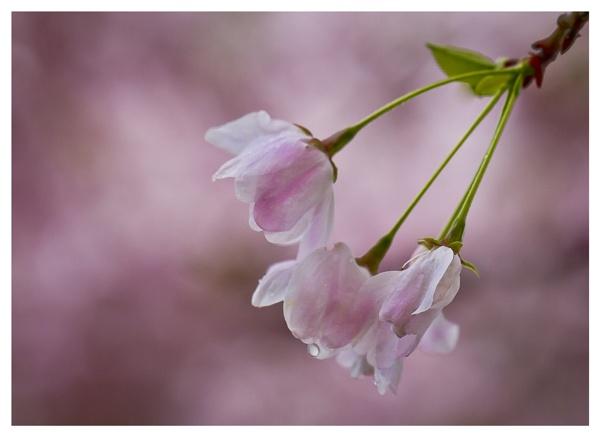 Cherry Blossom 2015 by shush