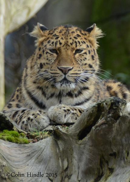Amur Leopard by BigColsPics