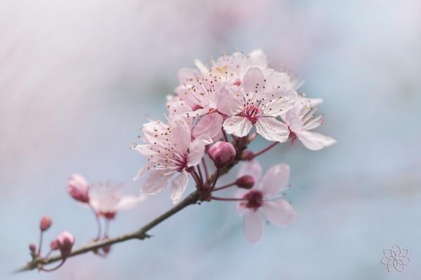 Black Cherry Plum Blossom by jackyp