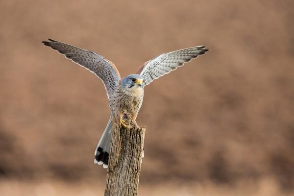Flapping Kestrel with prey by KPnut