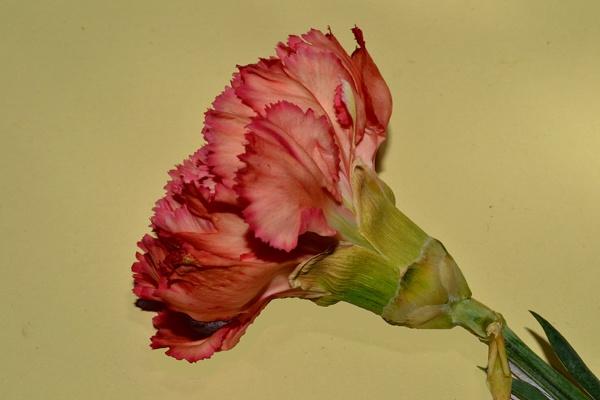 A thread carnation by Laslo