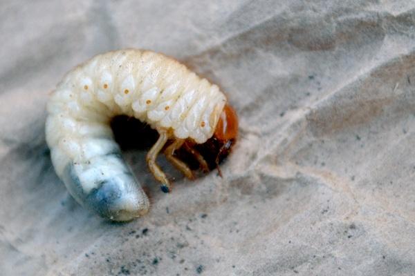horse bug larva by Laslo
