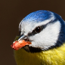 Blue Tit with a nut