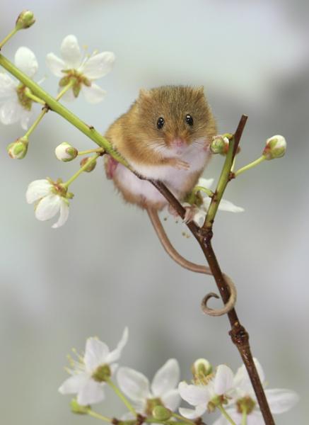 Harvest Mice by JAP2013