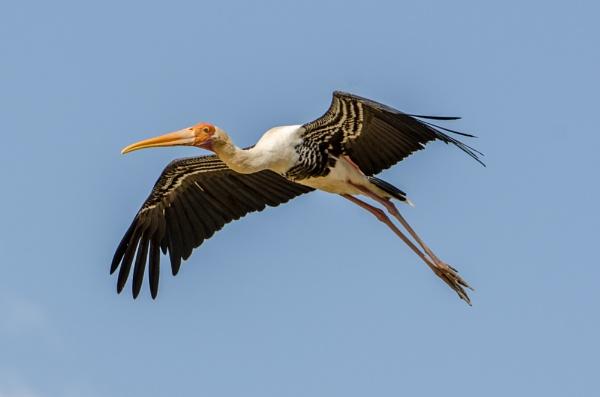 Painted Stork by kanwarmunish
