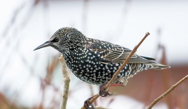 Starling by cegidfa