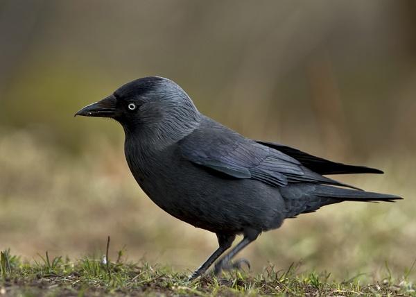 Jackdaw (Corvus monedula) by DerekL