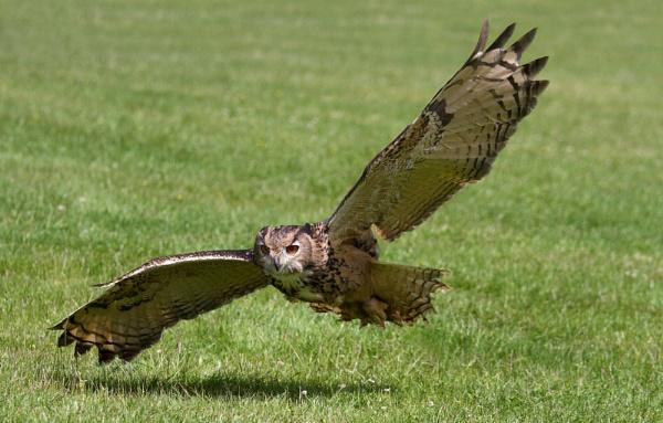 Eurasian eagle owl by Ian Pratt
