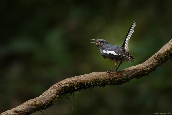 Oriental Magpie Robin [Female] by subashcr