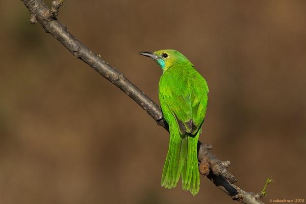 Jerdon\'s Leafbird [Female] by subashcr