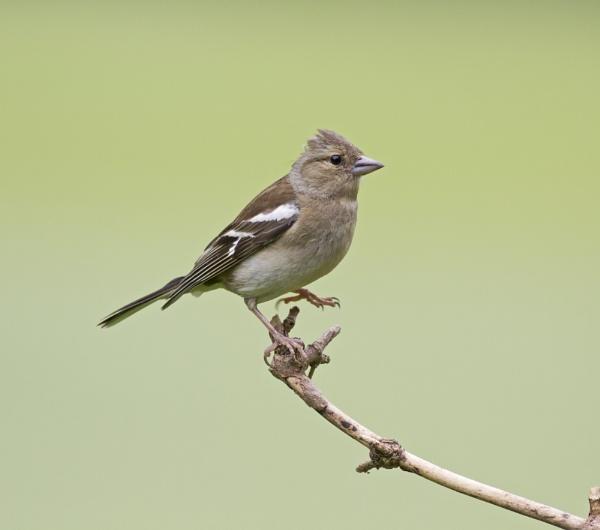 Female Chaffinch by lawbert
