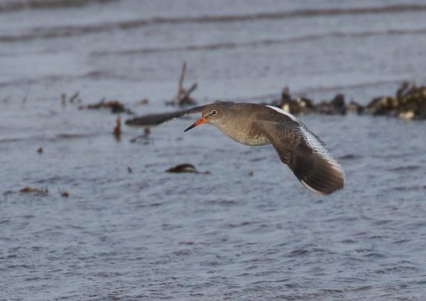 Red Shanks in Flight by NeilSchofield