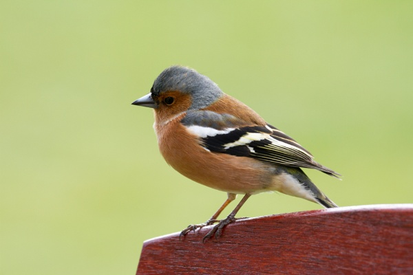 Common Chaffinch by billcoa
