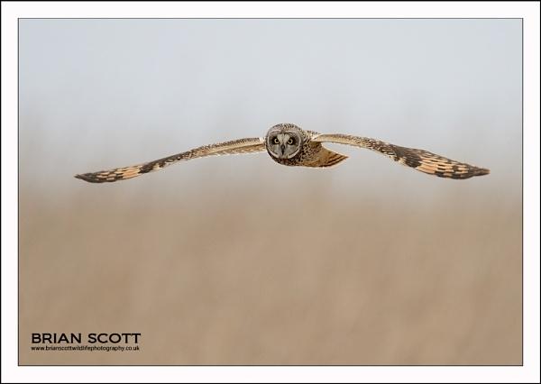 Short eared owl by Brian_Scott