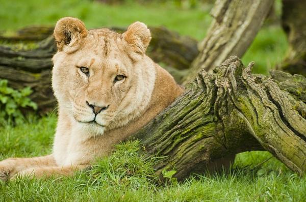Enzi - Longleat Lioness by editfmah