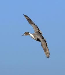 Male Pintail Drake