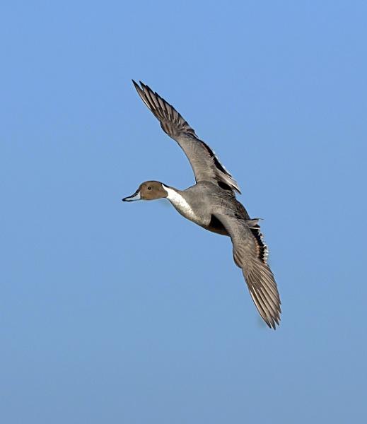 Male Pintail Drake by hasslebladuk