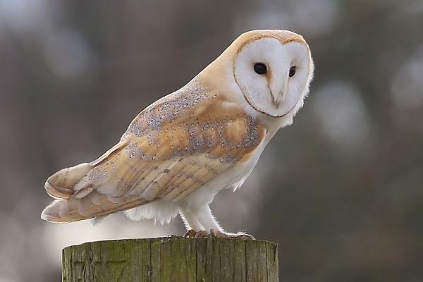 Barn Owl by Rev2