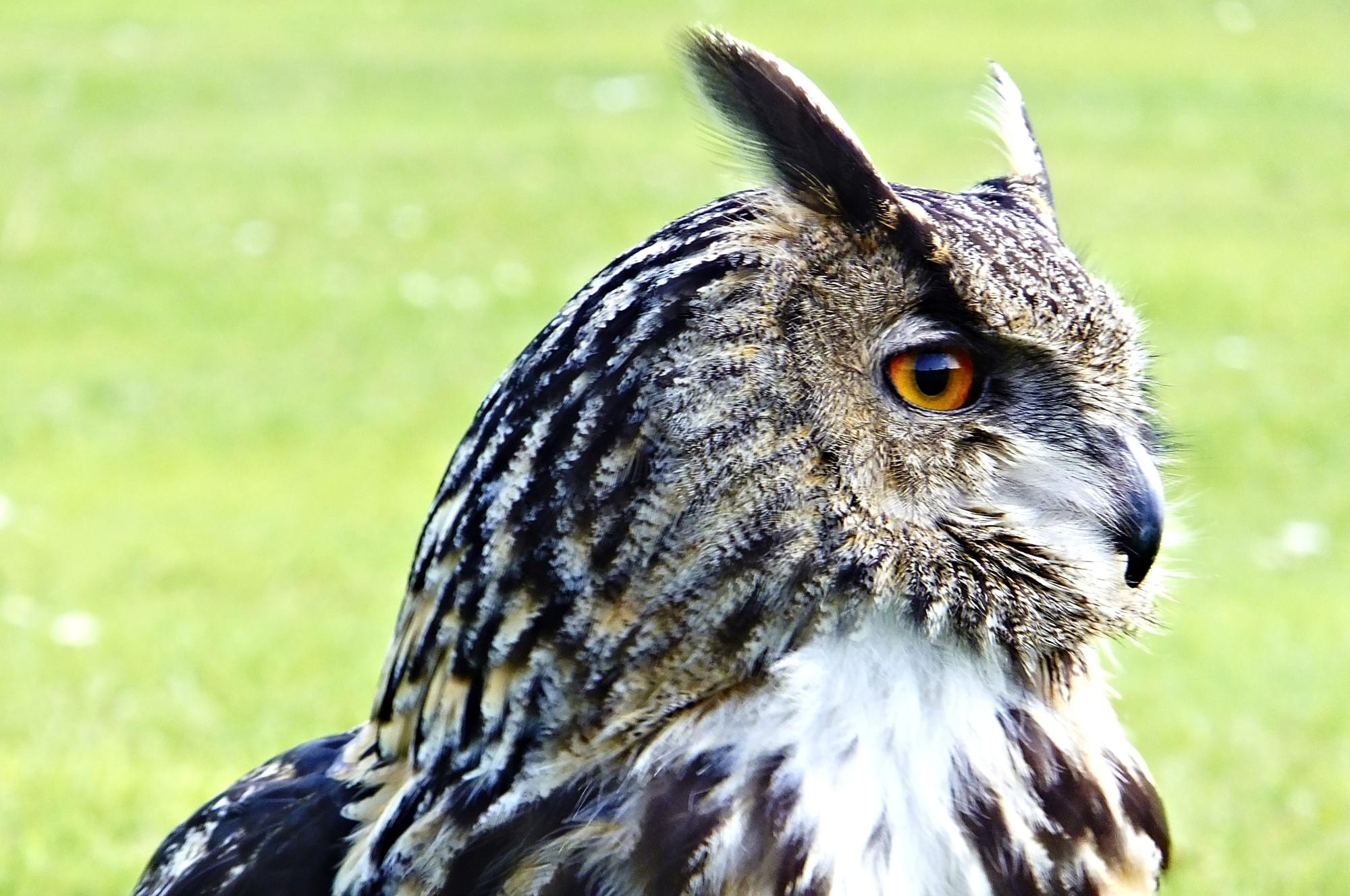 Daphne the European Eagle Owl