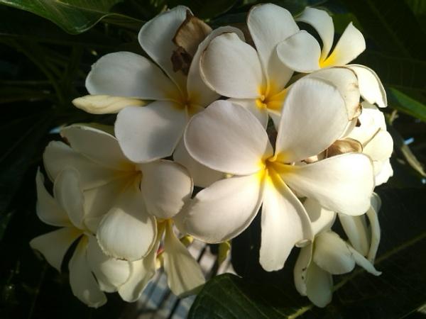 White Plumeria by kinkhab
