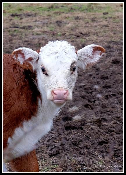 The Calf by kaz1