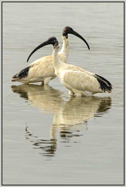 Australian White Ibis by Ayoob