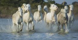 carmargue stallions