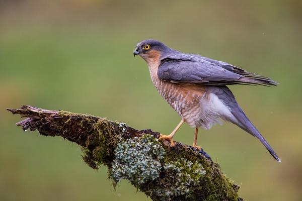Wet male Sparrowhawk by KPnut