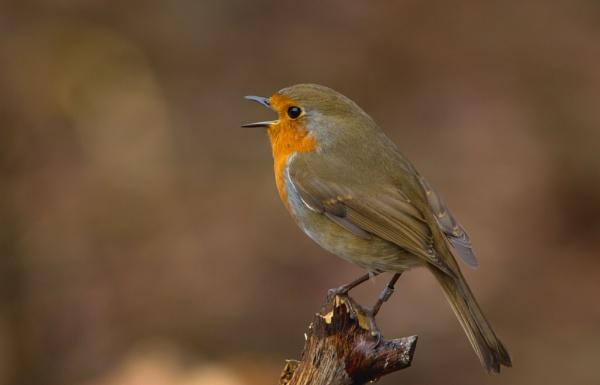 Robin by ali63