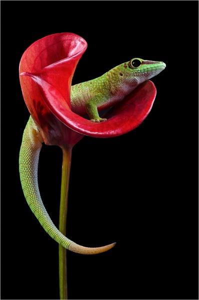 Madagascan Day Gecko II by flowerpower59