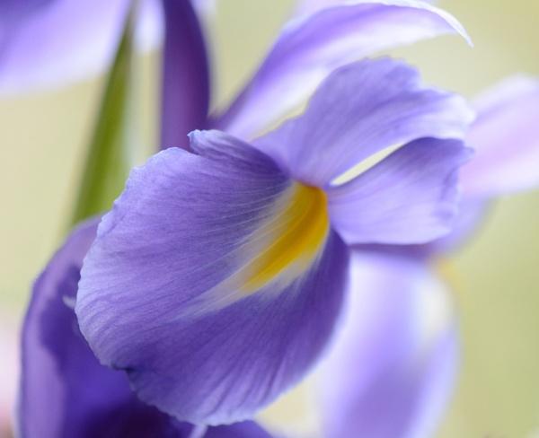 Irises by Danny1970