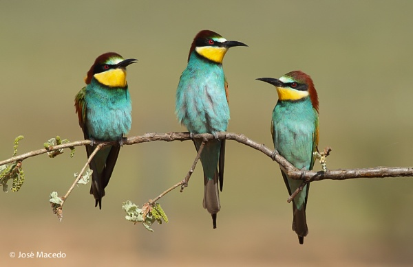 Bee-eater (Merops apiaster) by lord_macedo