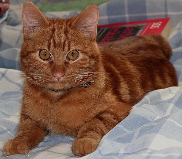 Brown cat by kazeva