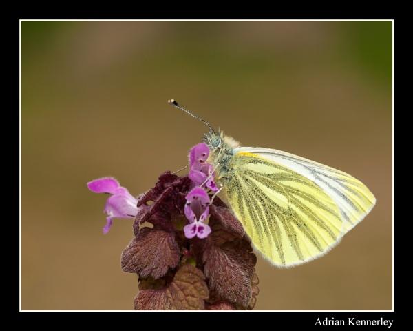 Green-veined White by tomcat