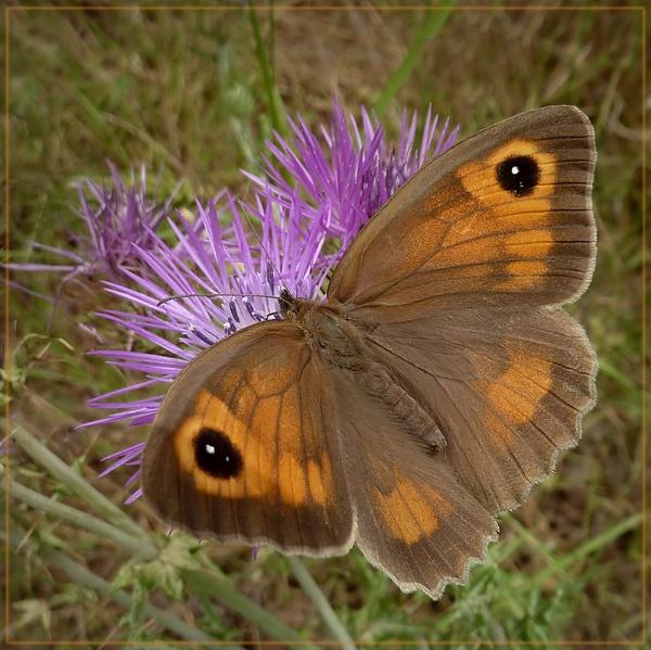 meadow  brown by CarolG