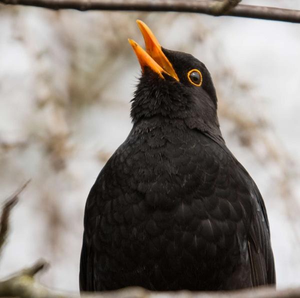 A Blackbird by Andysnapper