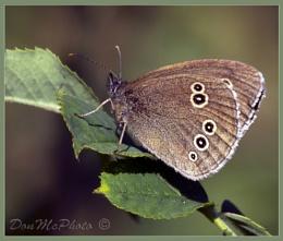 Ringlet (Aphantopus hyperantus) (II)