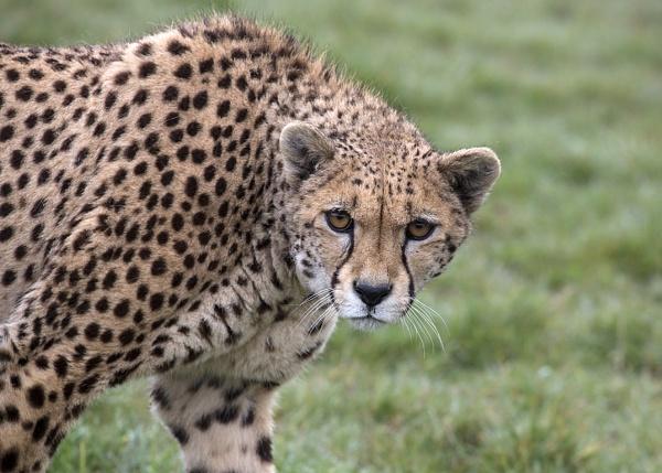 Male Cheetah by Lillian