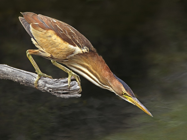 Little Bittern by Jamie_MacArthur
