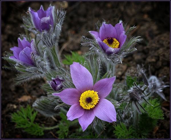 Pasque Flowers (Pulsatilla) by fentiger