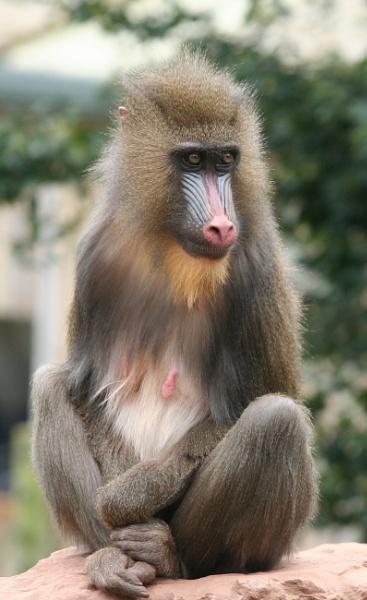 Baboon, @ South Lakes Safari Zoo by sammydarlo