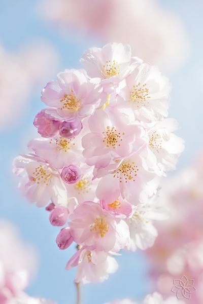 Sakura Spring by jackyp