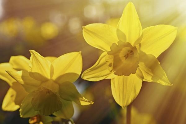Daffodil Sunset by gowebgo