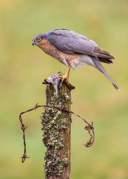 Male Sparrowhawk with bird by KPnut